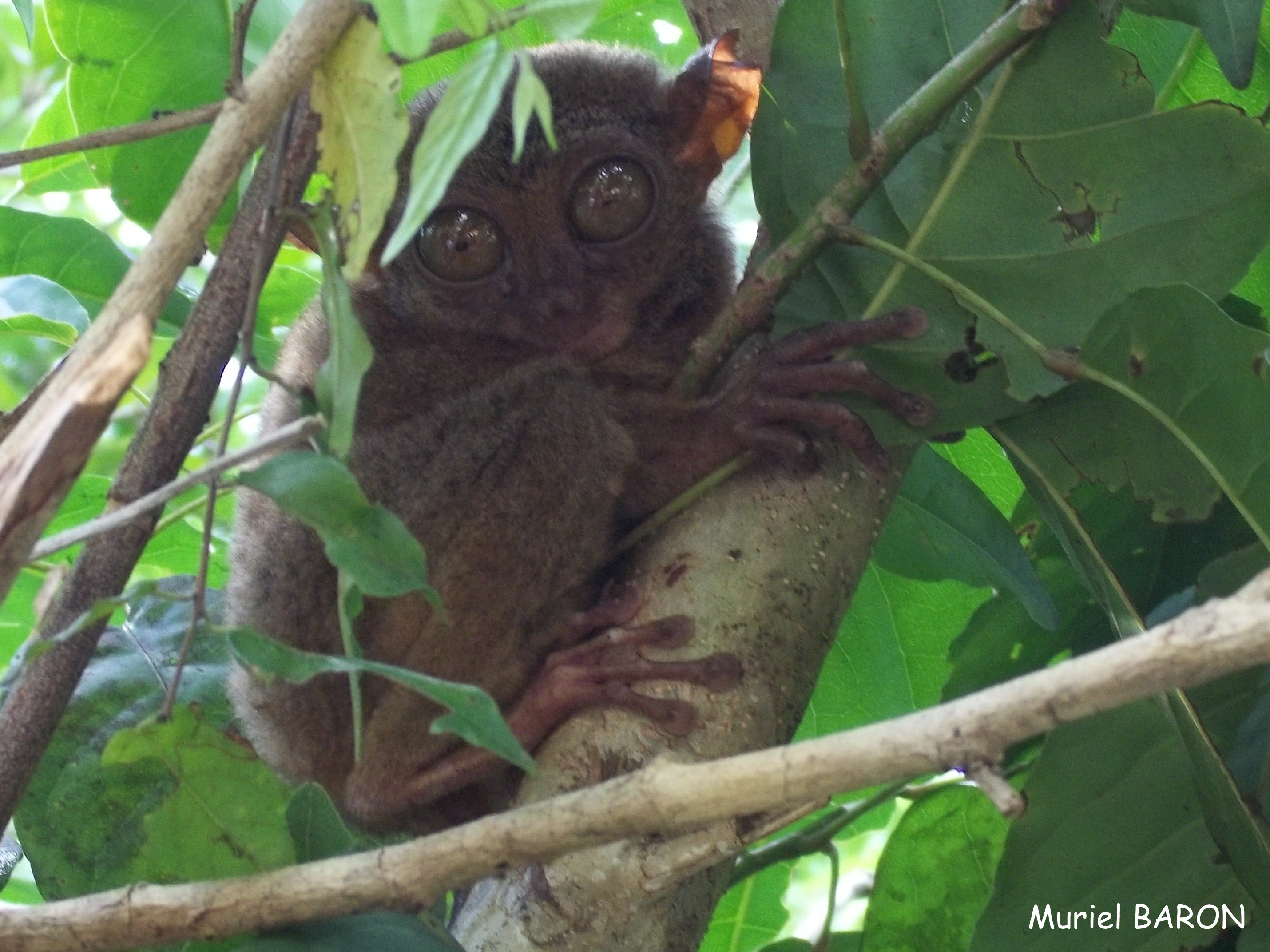 Le tarsier, animal symbole des Philippines